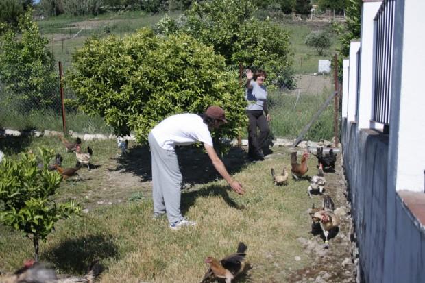 Tratando de coger a una pollita para anillarla