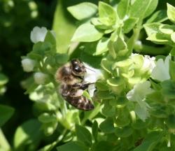abeja polinizadora posada en la flor de la albahaca