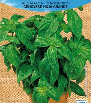 albahaca planta