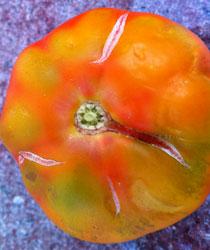agrietamiento del tomate