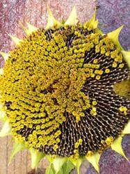flores fructificando en pipas