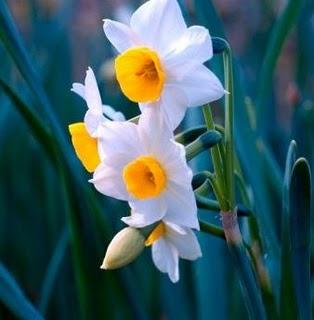 Bulbos Narcisos Comprar Online en Planeta Huerto