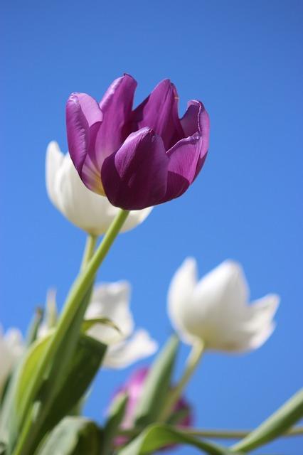 tulipanbulbo